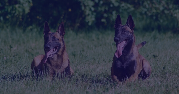 Differences Between a German Shepherd Protection Dog and a Belgian Malinois?