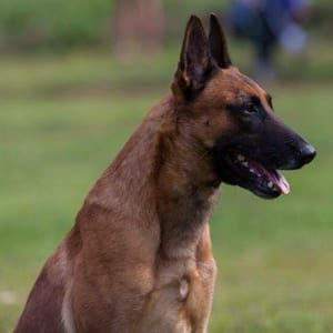 Bennett German Shephers Protection Dog Scott K9