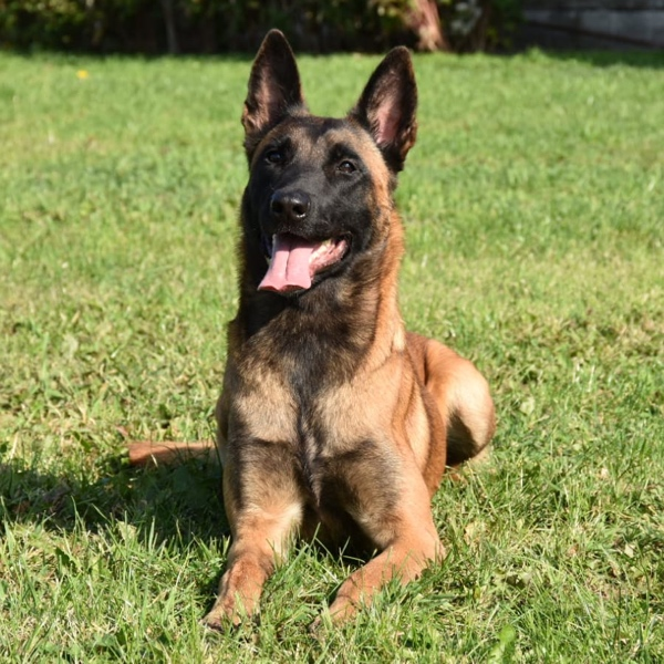 Blitz Dutch Malinois Family Guard Dog for Sale 2