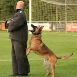 Boaz1 Malinois Police Dog Sale