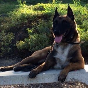 Fowles Belgian Malinois Protection Dog