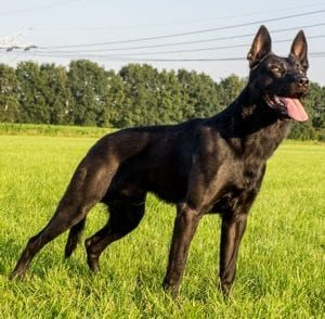 Fury Malinois Family Guard Dog