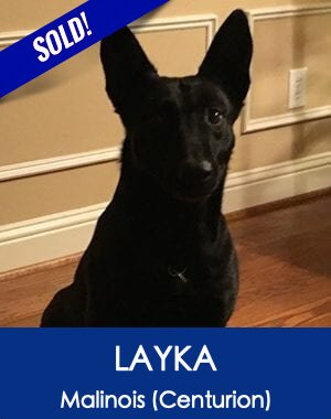 Layka Belgian Malinois Best Protection Dog Company