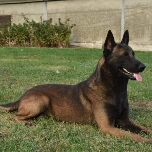 Rossi Belgian Malinois Family Protection Dog