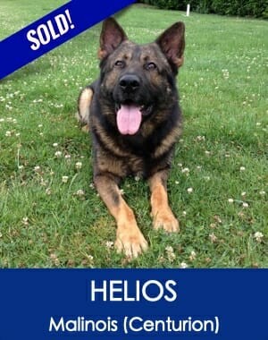 Helios Malinois Family Guard Dog for Sale
