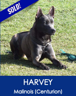 Harvey Blue Malinois Family Guard Dog for Sale