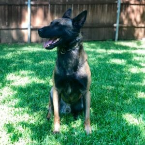 Bink Malinois Family Guard Dogs for Sale 2