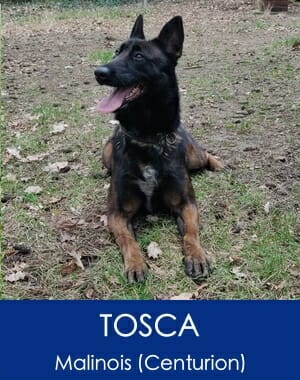 Tosca Belgian Malinois Family Guard Dog
