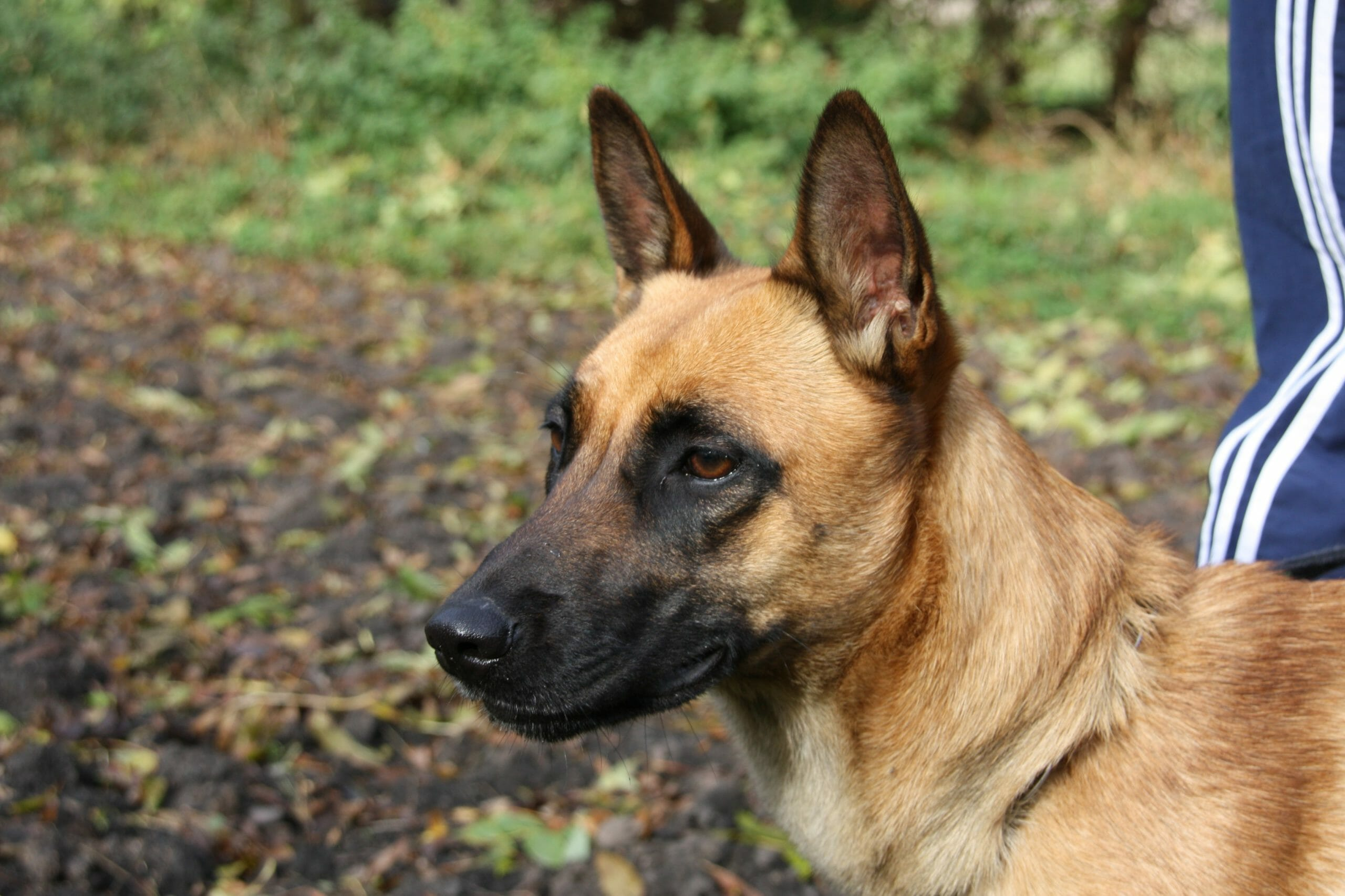Is the Belgian Malinois a Family-Friendly Dog?