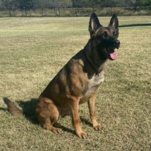 Bo 4 Belgian Malinois Family Protection Dog
